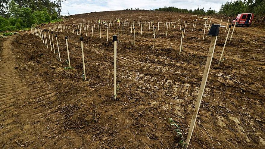 Comuneros de la Serra do Xurés se unen para pastoreo y cultivo de castaños, olivos y setas