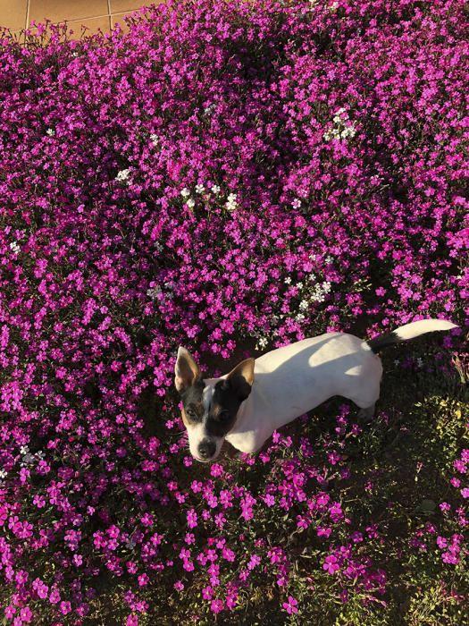 La Nina. En aquesta imatge tan florida, podem veure la Nina, la gosseta de l'Adelina del Molí de Sorba. La podem veure entre una catifa florida i grandiosa de clavells de roca de color rosa fúcsia i de color blanc.