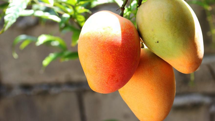 El Sultanato de Omán entrega a Canarias la primera enciclopedia universal del mango