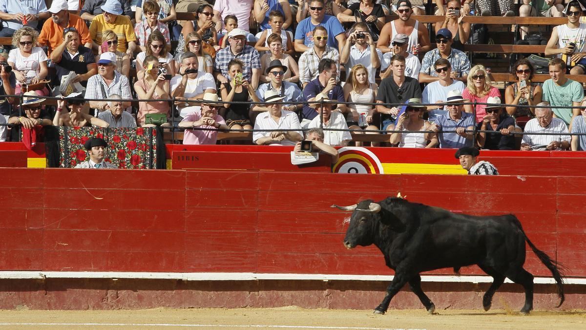 Un novillo pisa la plaza de toros de València durante la Feria de Julio.