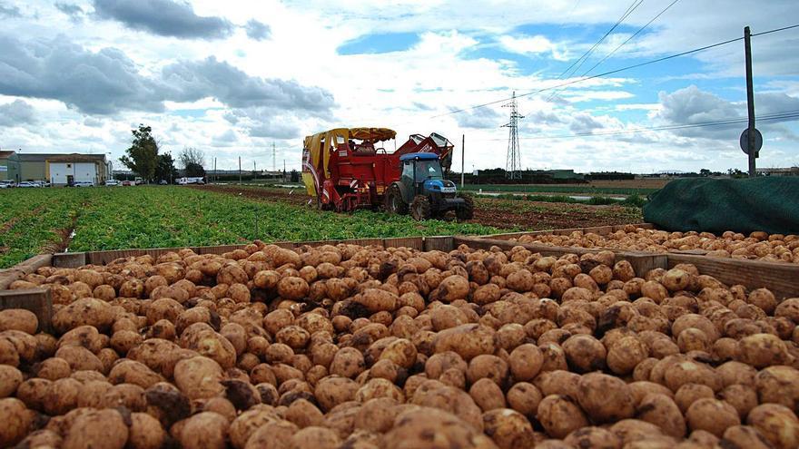 Govern y sector pactan la destrucción de un excedente de 3.200 toneladas de patatas de sa Pobla