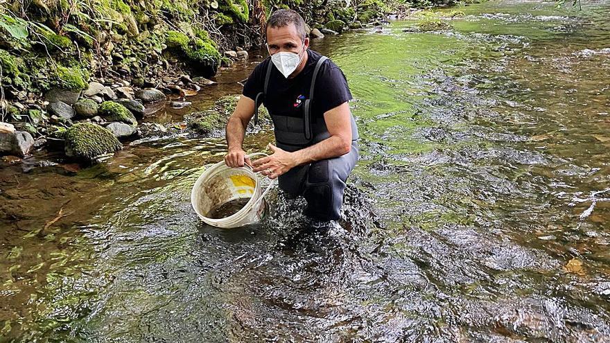 Los pescadores de Pravia inician la repoblación anual en el río Aranguín