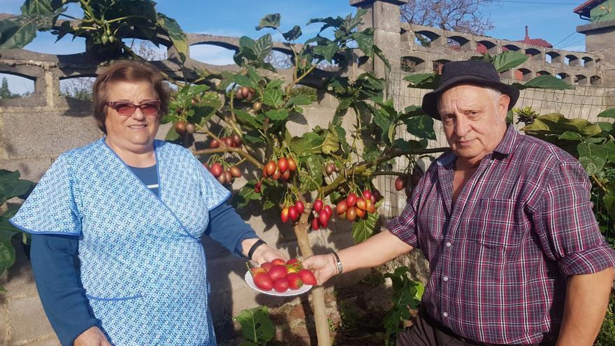 El curioso tomate que crece en los árboles de Villaviciosa
