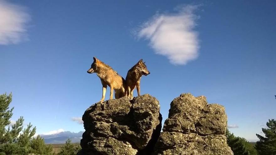 Prohibeixen la caça del llop en tot el territori espanyol