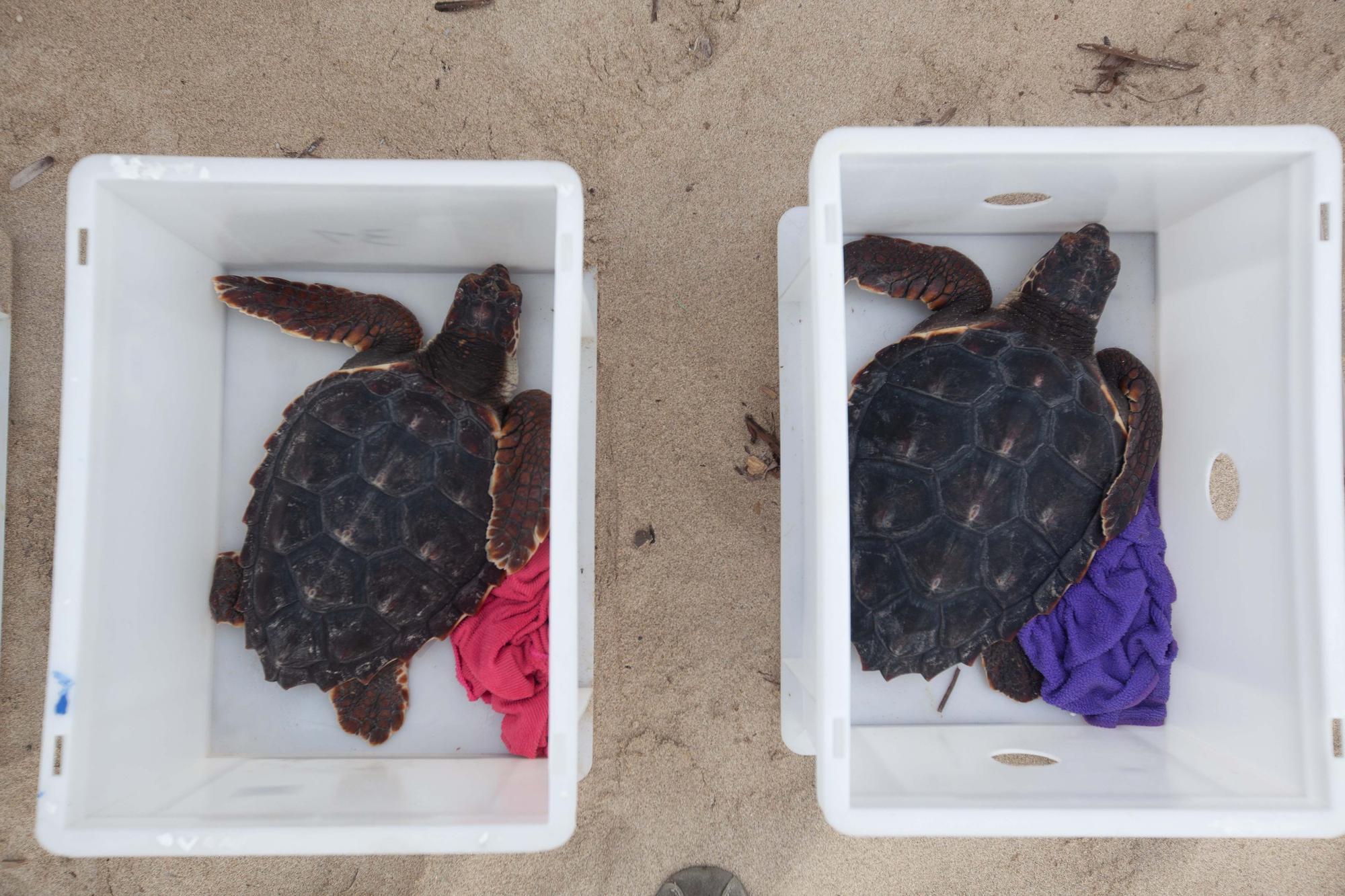 Ponen en libertad a las primeras tortugas nacidas en una playa de Ibiza