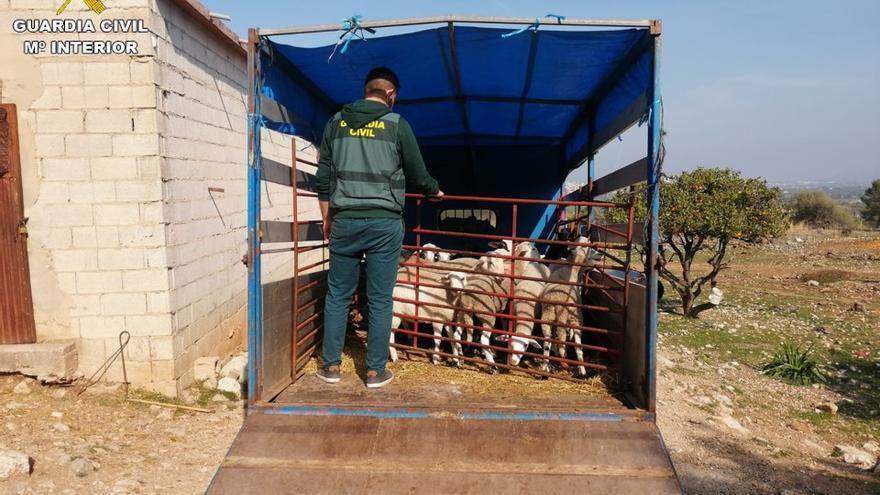 Detenidas 3 personas y recuperados 18 corderos robados en la Marina Alta