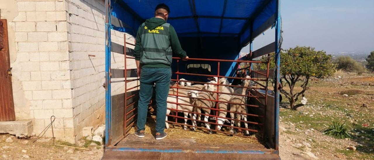 Imagen de los corderos sustraídos en los hurtos