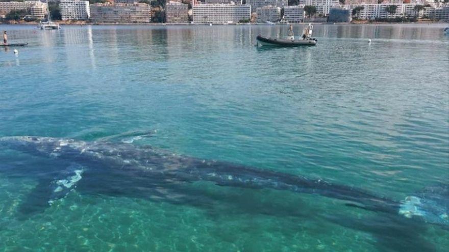 Sterbenskranker Grauwal irrt durch die Bucht von Santa Ponça