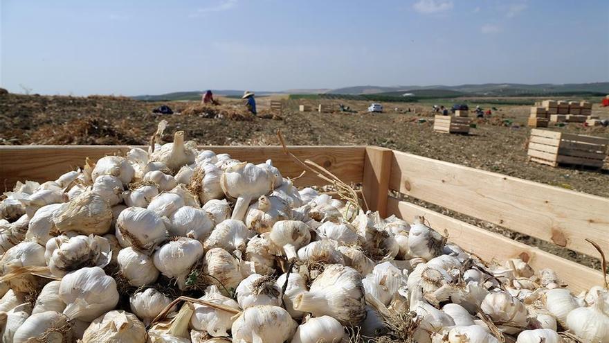 """UGT denuncia """"competencia desleal"""" entre las empresas de recolección y almacenamiento de ajos"""