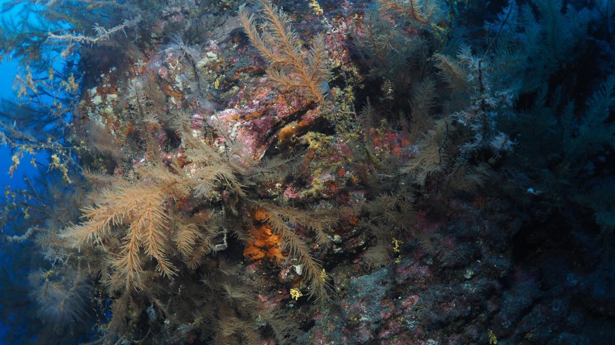 Cinturón de corales en Canarias