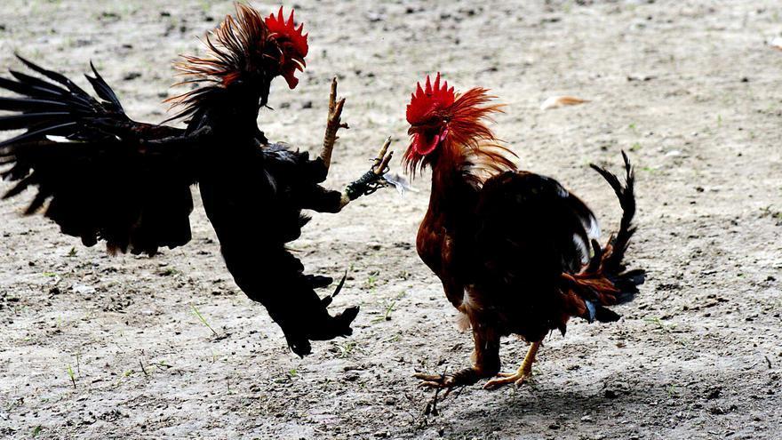 Policías de toda España se forman en la Región para intervenir en peleas de gallos