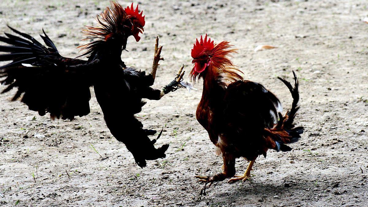 Dos gallos de pelea.