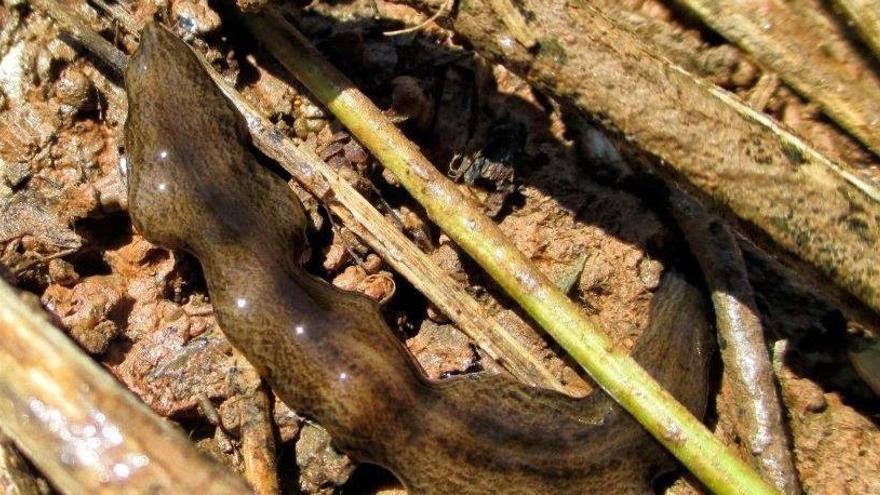 Detectan un gusano exótico invasor en La Albufera de Valencia