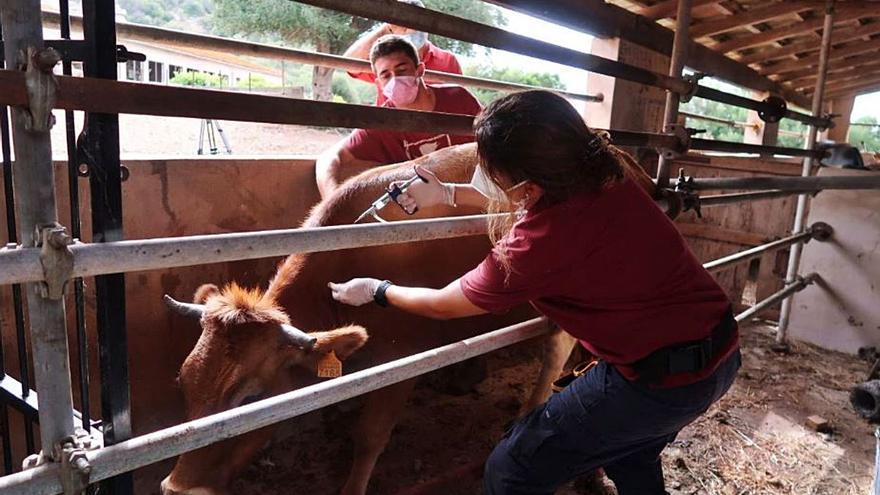 Agricultura ha vacunado a 50.000 animales contra la lengua azul en Baleares, el 20% del total