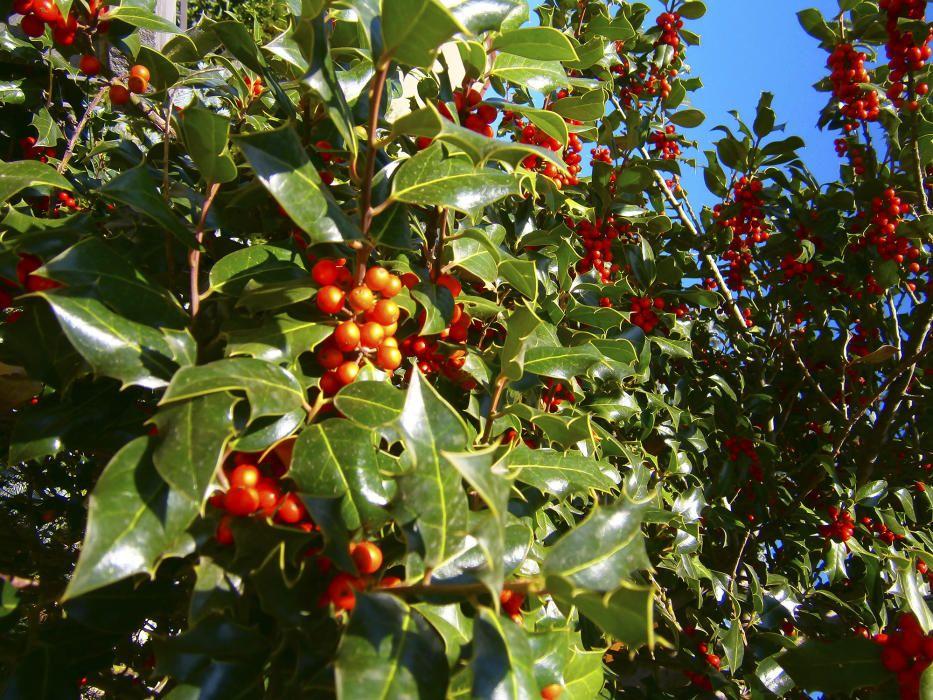 Planta nadalenca. El boix grèvol, de nom botànic Ilex aquifolium,  sempre s'ha associat a Nadal, però cada vegada més és aplicat amb la seva forma arbòria a la jardineria pública.