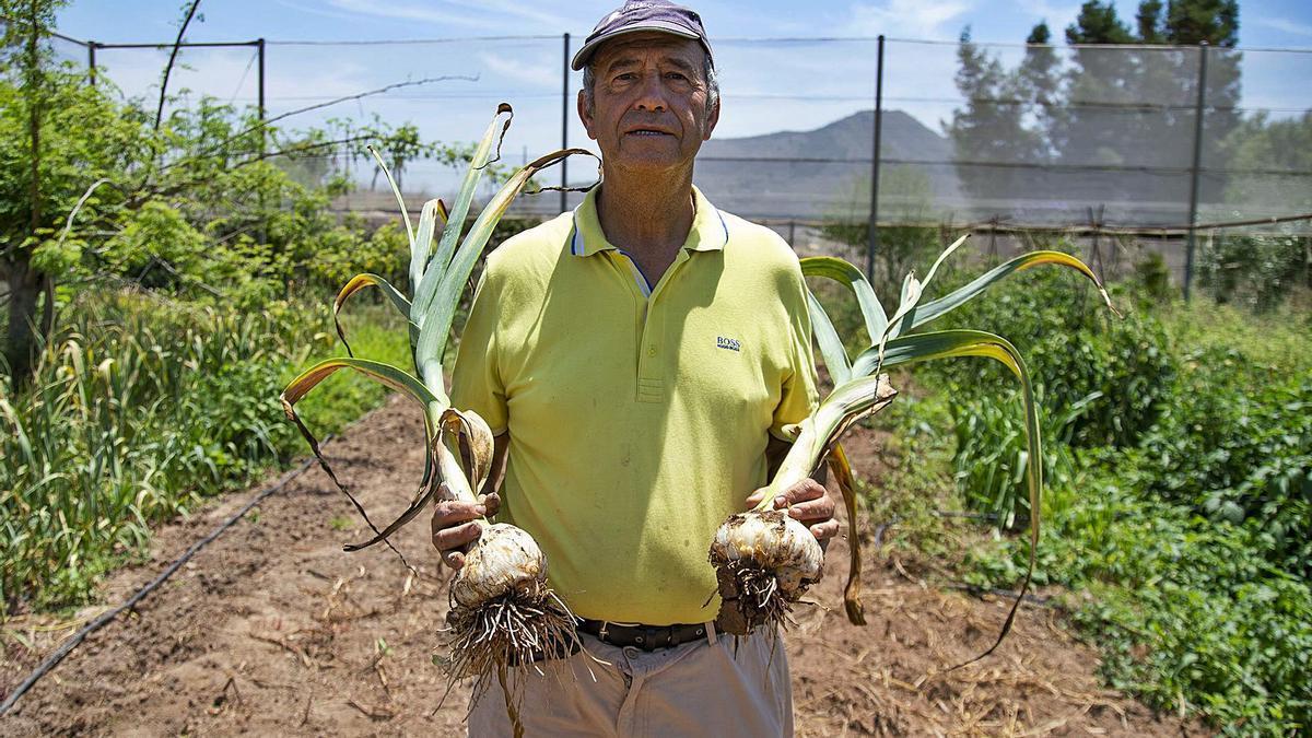 Ramón Navia, en su huerto de Canteras (Cartagena), sostiene dos ejemplares de ajo elefante.