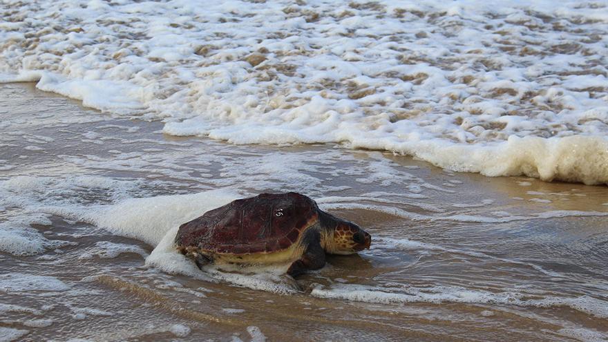 Alumnos de la ULL devuelven una tortuga al mar tras su rehabilitación