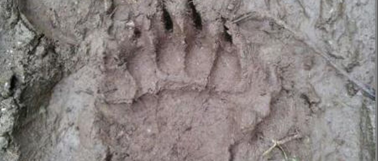 Gedrez, en vilo por el oso que mató ocho ovejas en una cabaña y otras cinco reses
