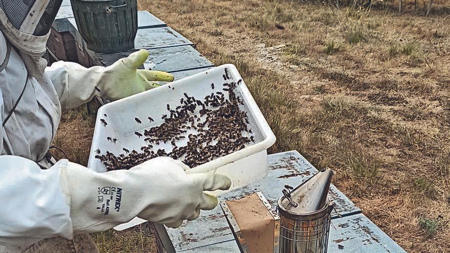 Alimentar les abelles amb fongs les podria fer més fortes per fer front a les plagues