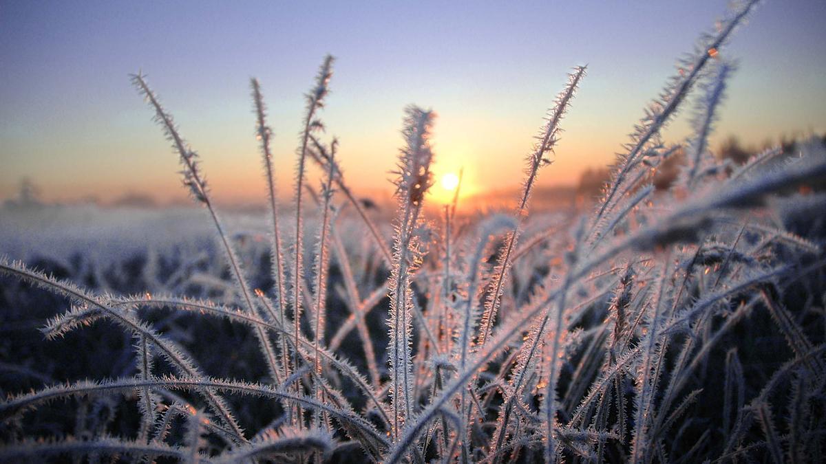 Plantas heladas por el frío.