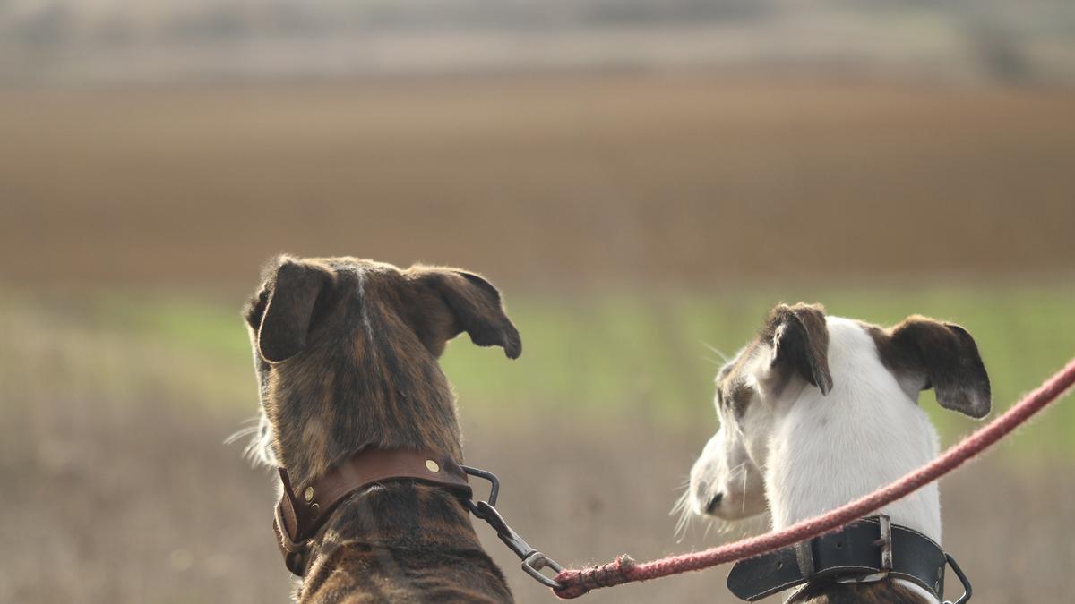 Dos galgos en el campo