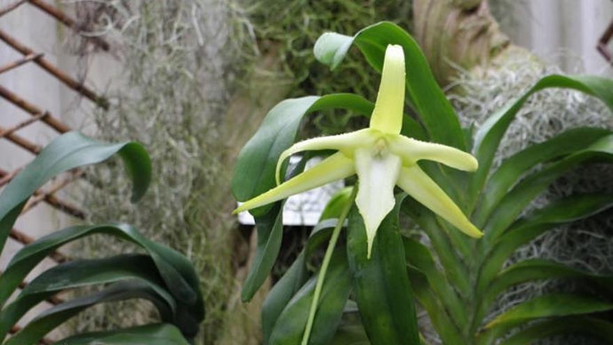Florece por primera vez una Orquídea de Darwin en Canarias