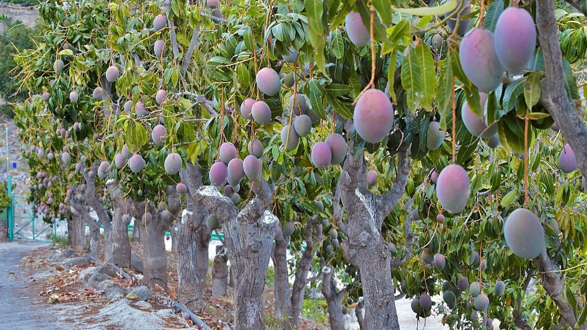Una finca dedicada al cultivo de mangos, en Mogán.