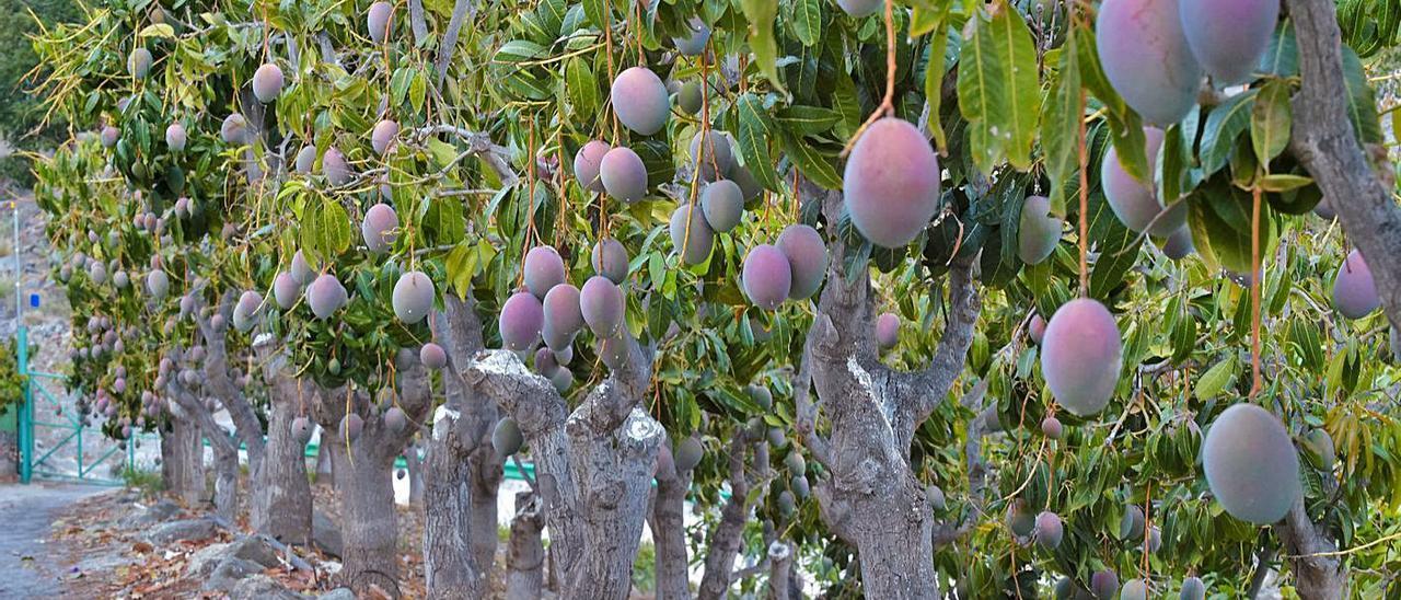 Una finca dedicada al cultivo de mangos, en Mogán.     ANDRÉS CRUZ