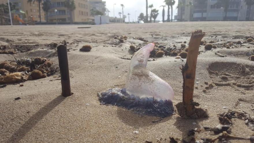 El Instituto de Ecología Litoral considera un caso aislado la aparición de la carabela portuguesa en Alicante