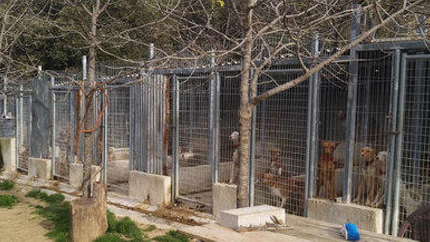 Denunciat a Maçanet per tenir gossos, senglars i un porc vietnamita indocumentats