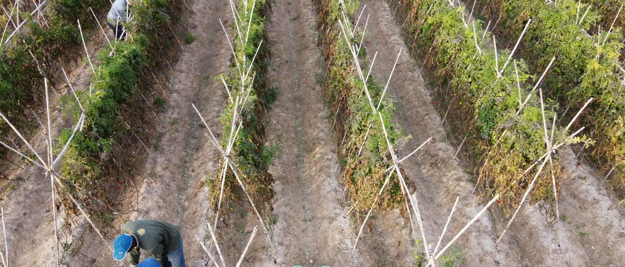 Jornaleros agrícolas trabajando en una explotación de tomates