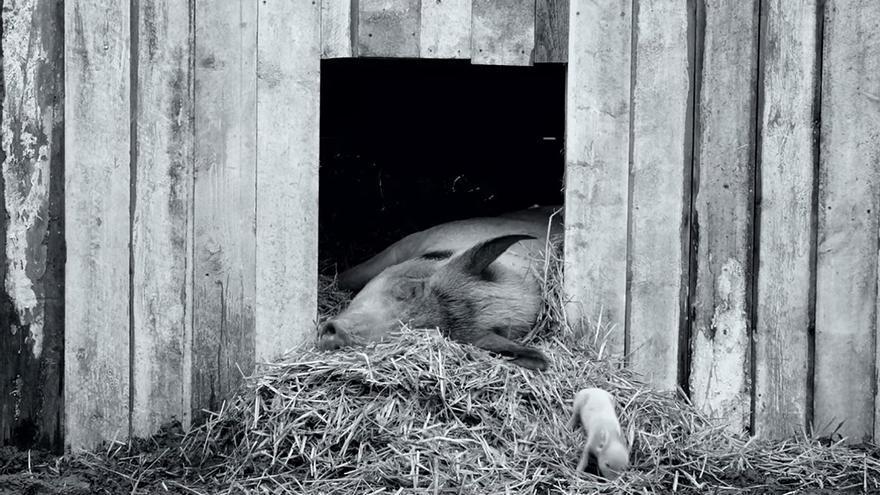 'Gunda': la heroica vida del ganado