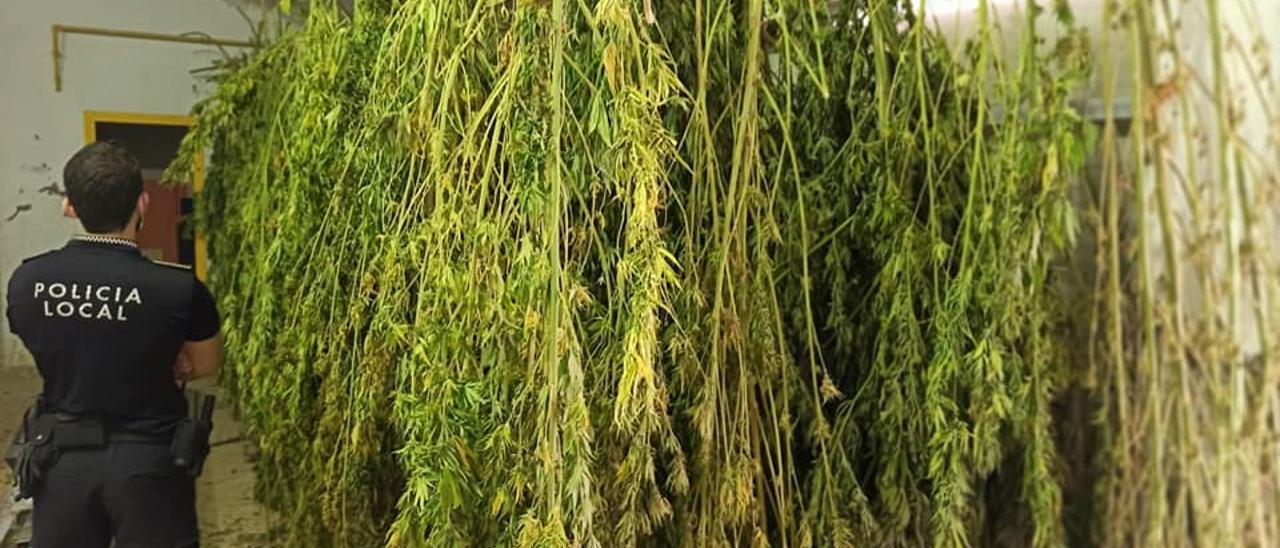 Las plantas de marihuana intervenidas por la Policía Local de Monóvar.