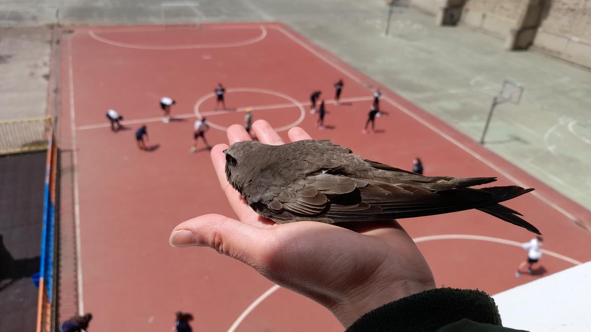 Suelta de un ejemplar en el colegio Carmelitas, donde estas aves a veces se cuelan en las aulas. Ya hay 30 nidos en los pisos superiores del centro docente.