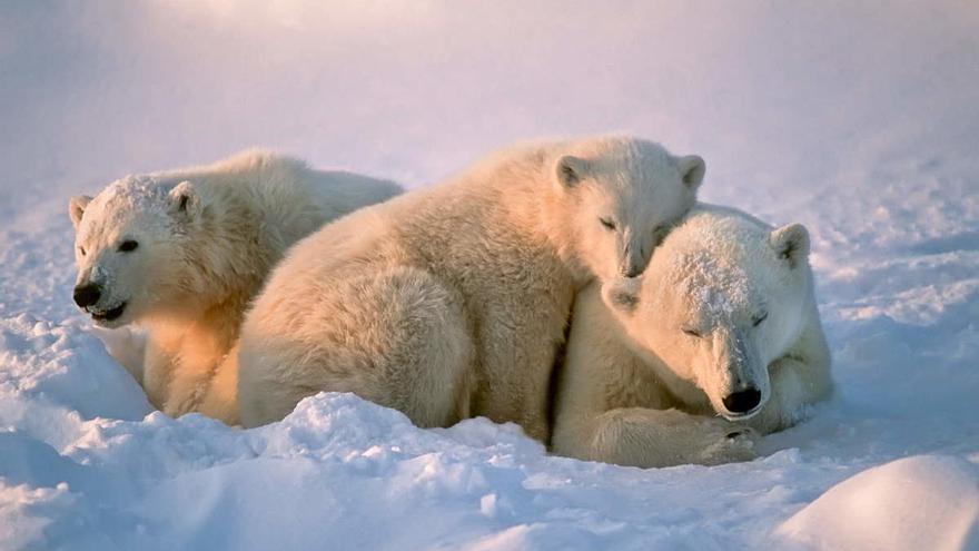 Los osos polares podrían desaparecer en 2100 por el cambio climático