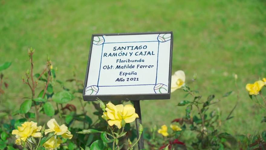 Una rosa de Alaquàs para Ramón y Cajal