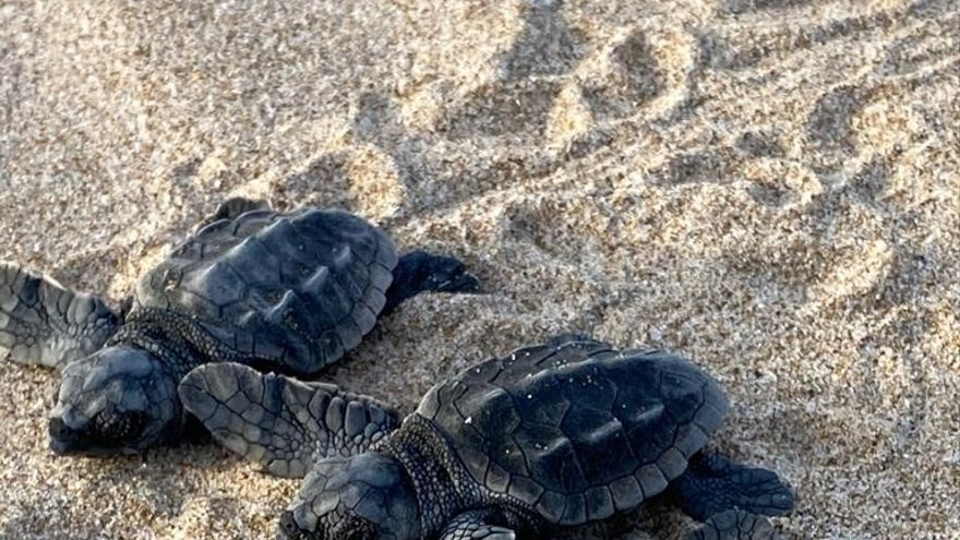 Nacen seis tortugas bobas de un nido localizado en Cullera (Valencia)