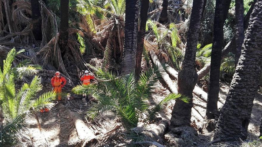 Limpian a fondo un palmeral tras el acuerdo con los dueños de los suelos