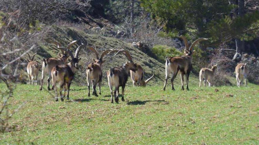 Arañuel lanza un SOS para controlar la superpoblación de cabra hispánica