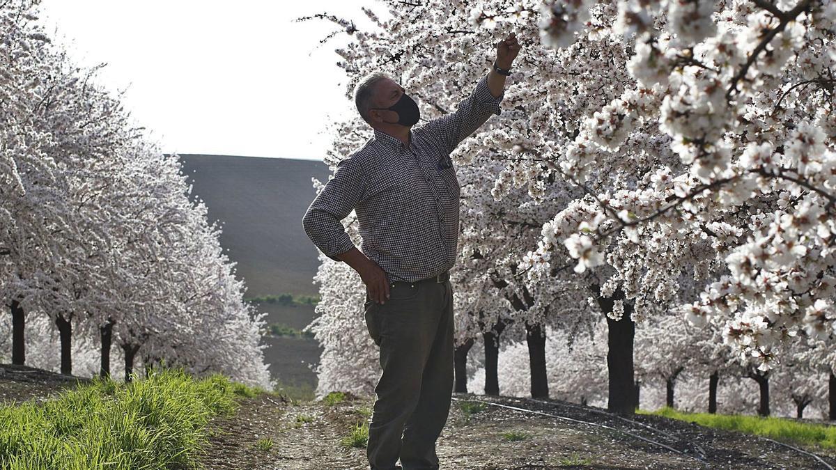 Un agricultor cordobés observa la floración de su plantación de almendros.