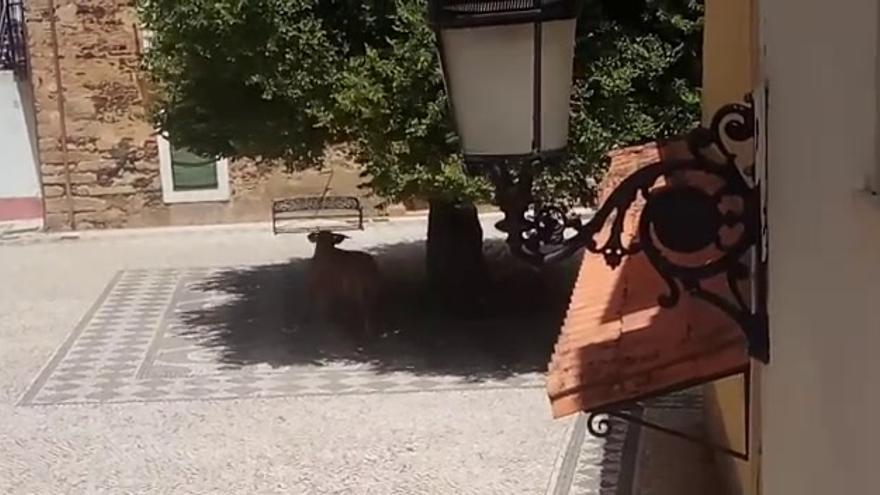 Una vaca pasea por las calles de San Vicente de Alcántara durante dos horas
