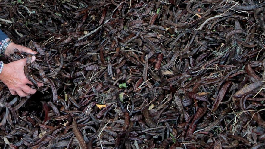 Diebe von Johannisbrotbaum-Schoten auf Mallorca gestellt