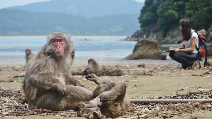 Una investigación en Japón con participación del CEU sobre macacos estudia la capacidad de entender las miradas
