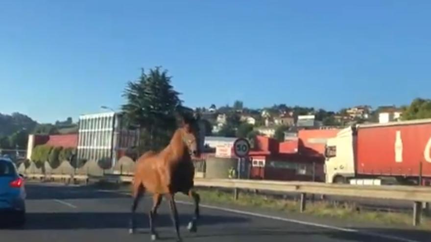 Dos motoristas del 092 interceptan a un caballo suelto por Alfonso Molina