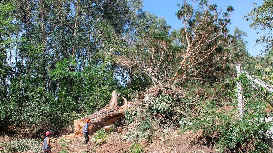"""Medio Ambiente reclama a Rural un plan más """"ambicioso"""" para reducir el eucalipto"""