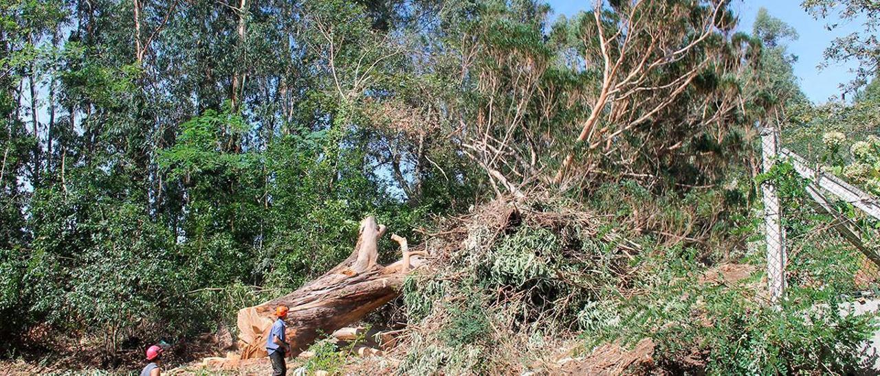 Tala de un eucalipto en Coiro