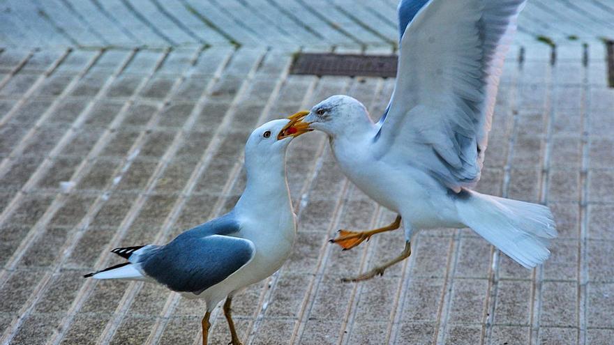 """Vilagarcía y Meis, incluidos en las zonas de especial vigilancia de """"influenza aviar"""""""