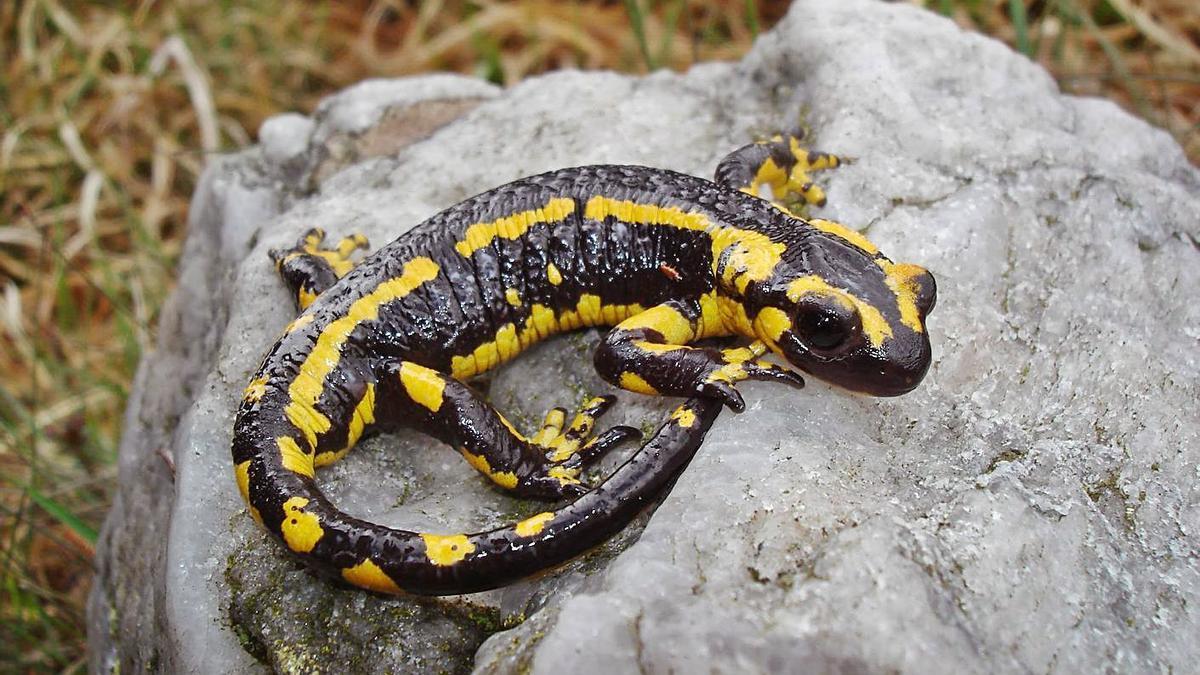 Unha píntega, 'Salamandra salamandra', nunha rocha.   | // CEDIDA POLO GRUPO NATURALISTA HÁBITAT