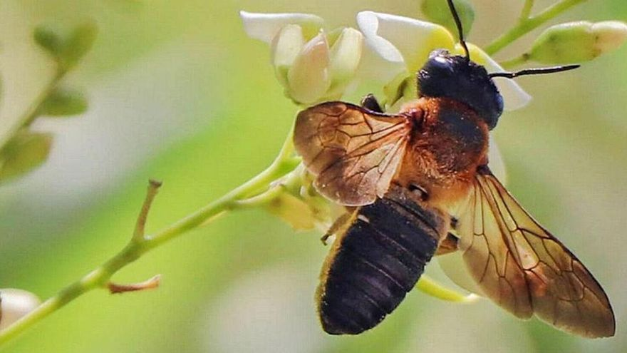 Descubren una nueva especie de abeja exótica en Mallorca