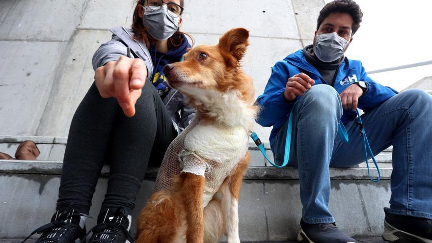 """""""Noa"""", la perrita que sobrevivió al ataque de un jabalí en la Pista Finlandesa"""